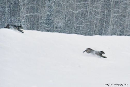 Two bobcats racing through the Superior National Forest by Darcy Some.