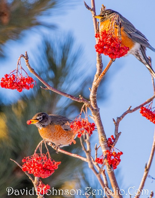 Winter robins enjoying Mountain Ash berries by David Johnson.