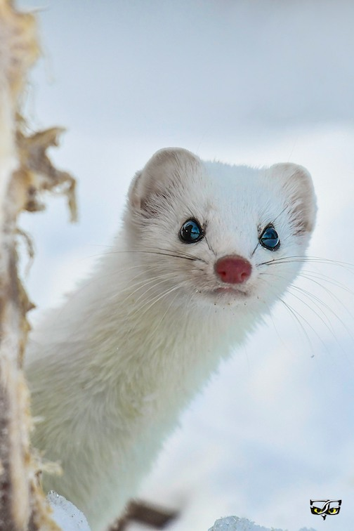 You rang? Ermine by Jeff Grotte.