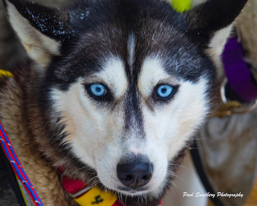 Jen Freking's lead sled dog at the Beargrease by Paul Sundberg.