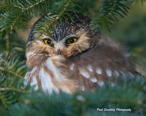 Northern Saw-Whet Owl by Paul Sundberg.