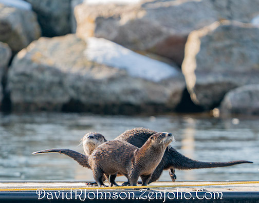 Otters in spring by David Johnson.