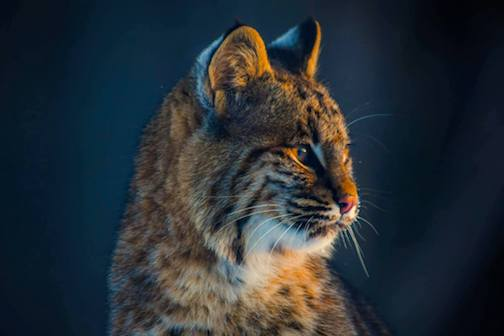 Bobcat: We have some pretty cool wildlife here by Dustin Lavigne.