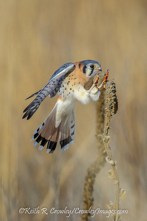 As long as I'm home; Day 13, American Kestral by Keith Crowley.