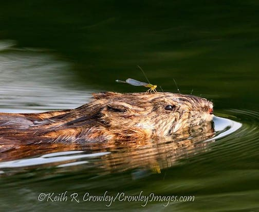 The muskrat and the damselfly by Keith Crowley.