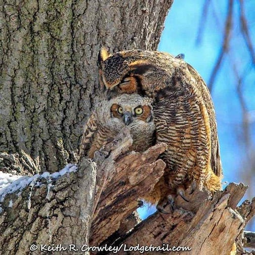 """Day 9 of """"As Long As I""""m Home Project,"""" Female Great Horned Owl with Owlet by Keith Crowley."""