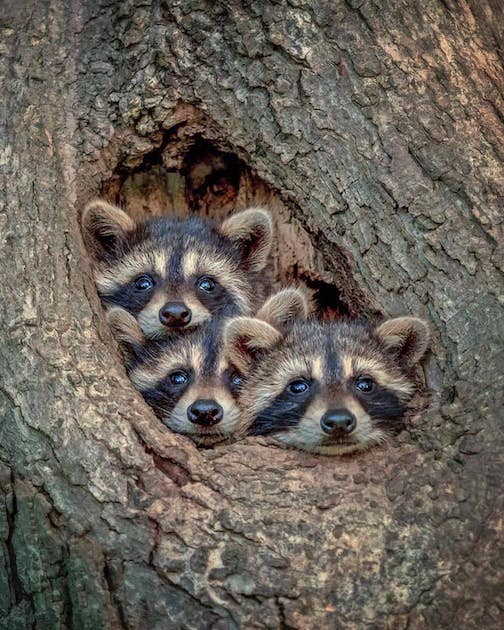 Racoons in Canada byKevin Biskaborn.