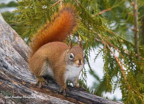 Red Squirrel by Paul Sundberg. Sundberg saw this squirrel scramble out of the way of a hungry Pine Marten last week. As of Wednesday of this week, the squirrel is still in top form.