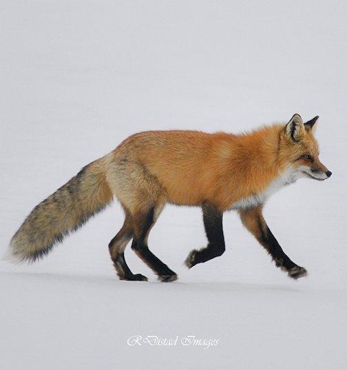 Fox trot by Roxanne Distad.