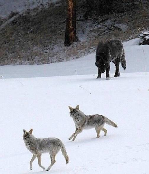 Wolf vs. Coyote. Photographer unknown.