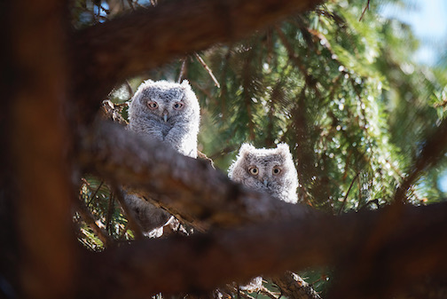 Screech owl youngsters by Layne Kennedy.