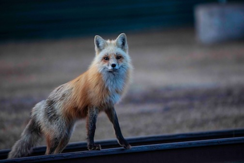 Fox, by Chris Artist.