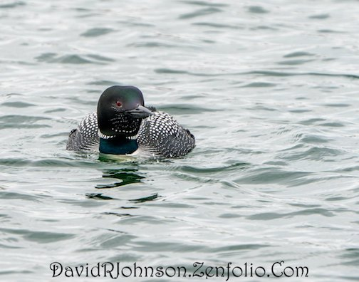 """They are back!""  by David Johnson. The first loons appeared in the harbor this week, where they will remain until the inland lakes unfreeze. Look for them in the harbor."