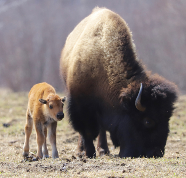Happy Earth Day. 3-day-old bison calf by Lori Sparkly Franklin.
