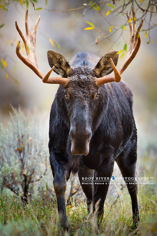 Adrenalin rush: bull moose, Grand Teton National Park by Heidi Pinkerton.