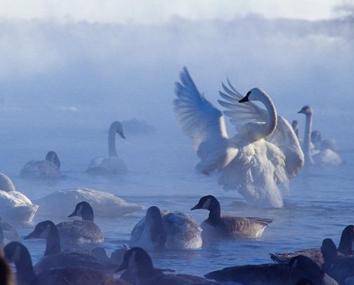 John Gregor, Day 15, swans.