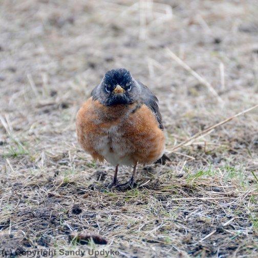 Grumpy Robin by Sandra Updike.