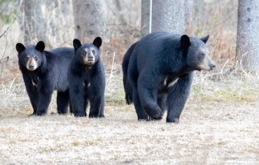 Early spring bears... where are the seeds? by Steve Piragis.