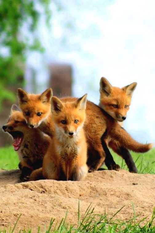 Fox kits by Tor Torkildson.