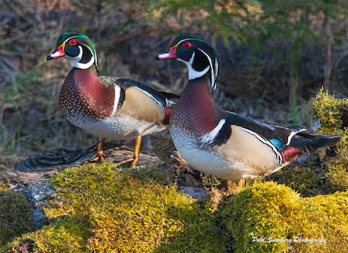 Wood Ducks by Paul Sundberg.