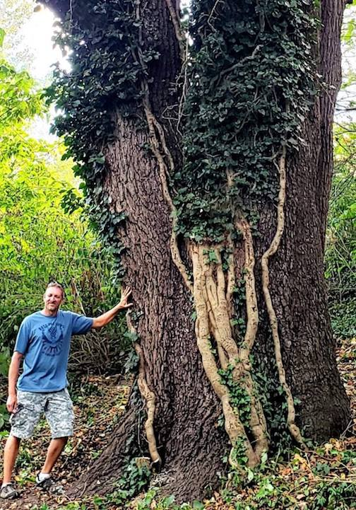 Ohio monster--a 220-inch walnut tree in Delaware County, Ohio.