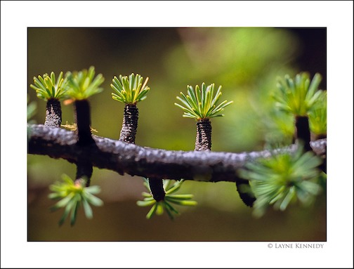 Blooms on a tamarack tree by Layne Kennedy.