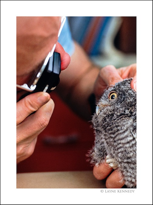 What a hoot, watching this tiny owl getting an eye exam at the Raptor Rehab Center at the University of Minnesota.