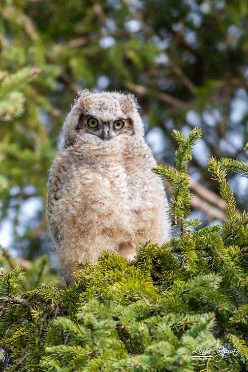 Baby Great Horned Owl by Linda Ryma.