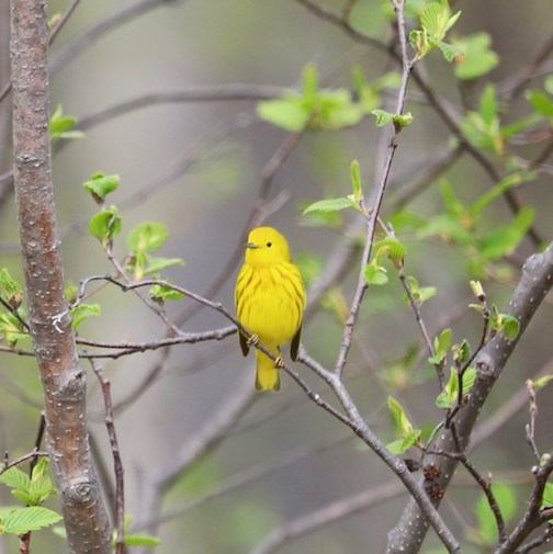 Yellow warbler by Lori Sparkly Franklin.