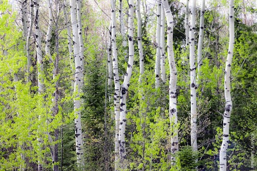 """There's just something about birches mixed with spring glow"" by Mary Amerman."