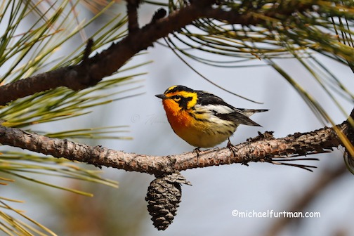 Blackburnian Warbler by Michael Furtman.