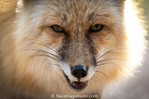 Red fox by Nace Hagemann.