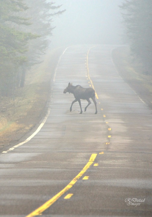 Moose in the early fog by Roxann Distad.