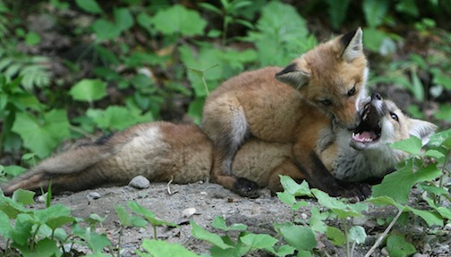 Fox kits play outside their den for the first time. Photo by Tor Torkildson.