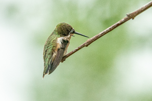 Frustrated hummingbird by Janice Latz.