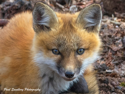 One of Grand Marais' Red Fox kits by Paul Sundberg.