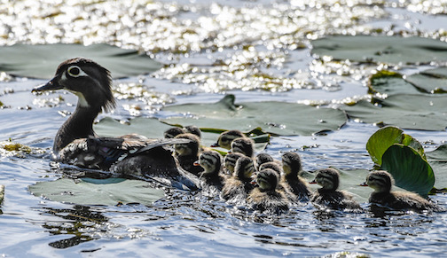 Wood duck and her brood by Dennis Chick.