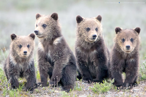 Yellowstone Grizzley cubs by Heidi Pinkerton.