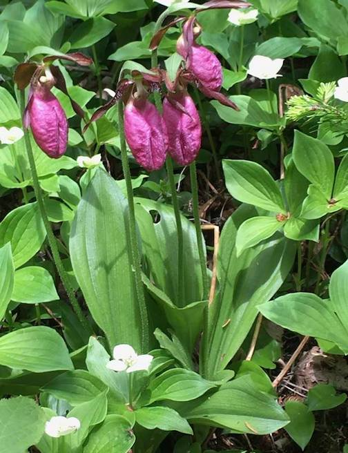 The Lady Slippers are out by Jennifer Schulz.