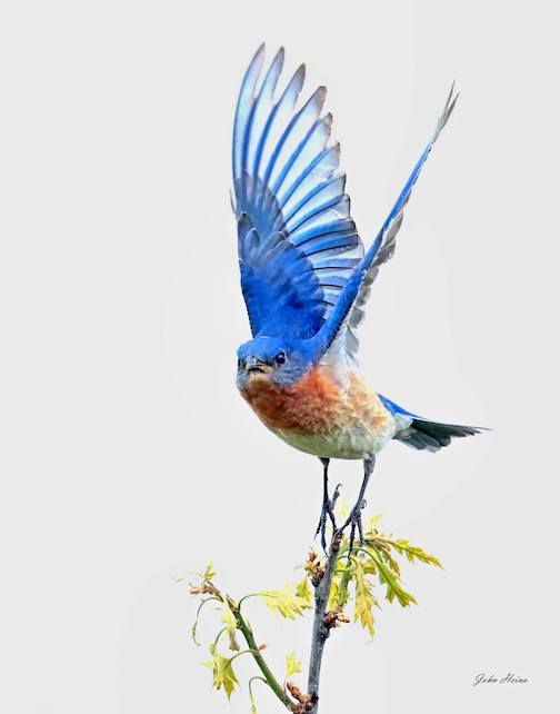 Blue Angel. Eastern Bluebird by John Heino.