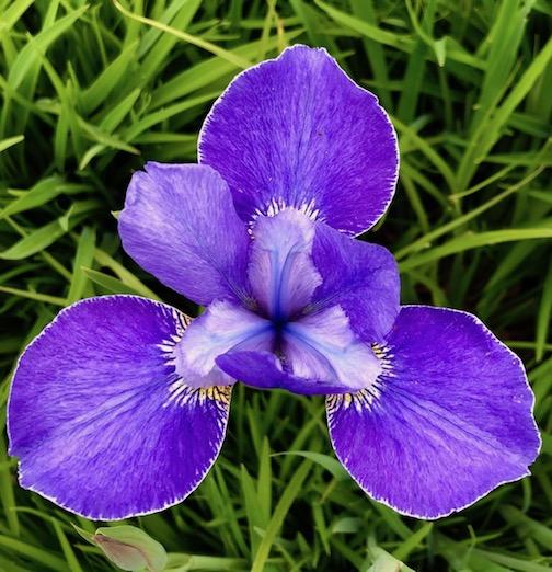 Iris ensata aka Japanese Iris by Maryl Skinner.