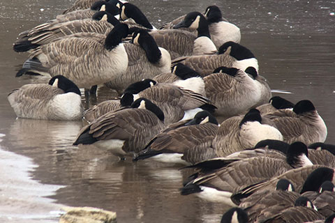 A gaggle of Canada geese take a break on Lake Superior during their spring migration. Photo by Tor Torkildson.