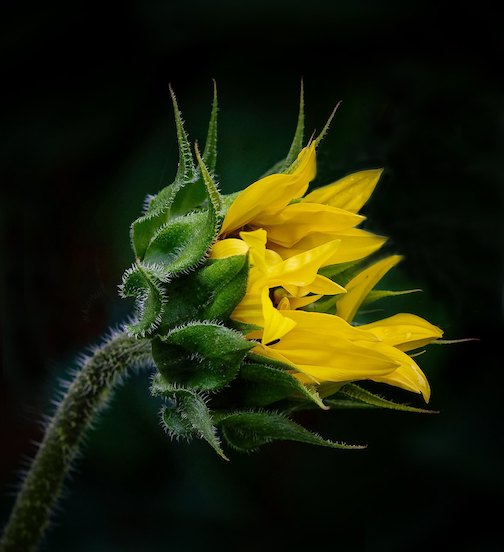 Phototropism: Sunflower by Bohdan Tkaczk.