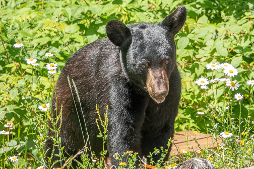 Black Bear Beauty by Janie Latz.