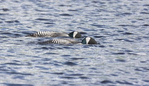 Create a caption for this pair of Common Loons by Thomas Spence.