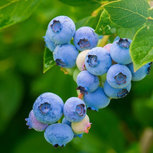 The Gunflint Trail's Biggest Blueberry Contest  starts next Friday, July 17.