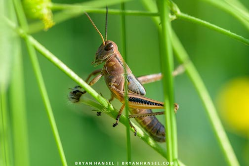 The Grasshopper by Bryan Hansel.