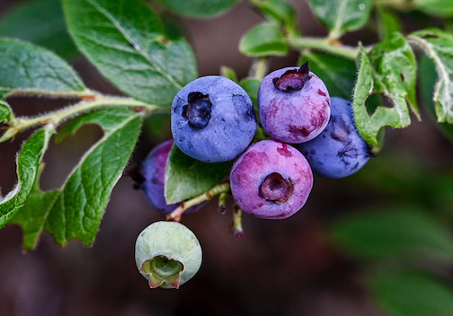 Blueberries ripen in stages. Photograph by Dennis Chick.