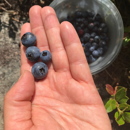 The Gunflint Trail's Biggest Blueberry Contest continues. Photograph by Kjersti Vick.