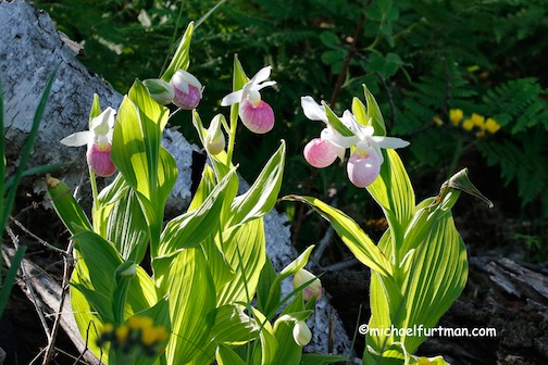 Still blooming. Snowy Lady's Slipper by Michael Furtman.